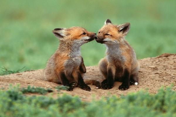 Hermanos zorros