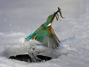 Pájaro pescando en el hielo