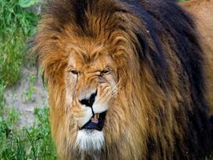 León con dolor de muelas