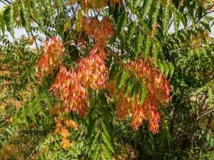 """Postal: Hojas del """"Árbol del cielo"""" (Ailanthus altissima)"""