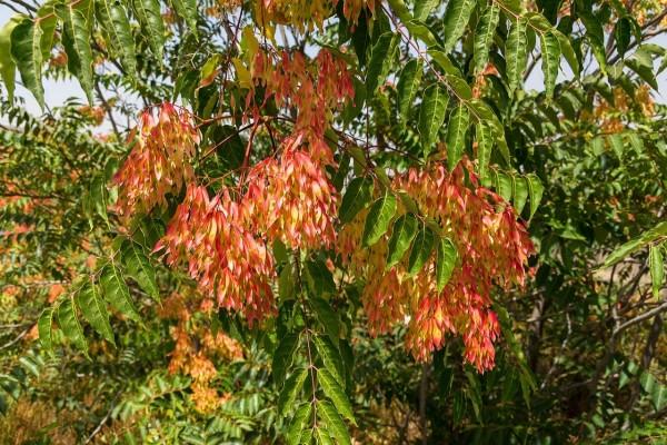 """Hojas del """"Árbol del cielo"""" (Ailanthus altissima)"""