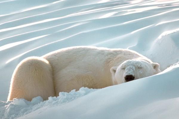 Un oso polar descansando