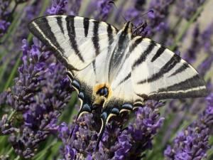 Postal: Mariposa blanca y negra