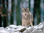 Un lobo mirándote