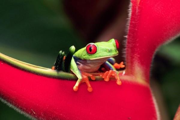Ranita verde sobre una flor roja