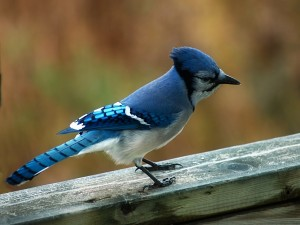 Pájaro de plumaje azul
