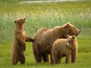 Familia de osos en una verde pradera