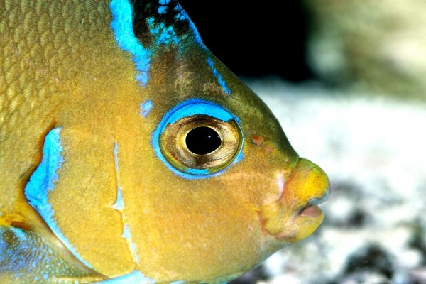 Cabeza de un pez tropical amarillo