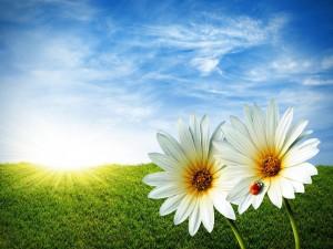 Dos gerberas blancas a la salida del sol
