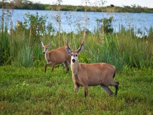 Postal: Ciervo de los pantanos