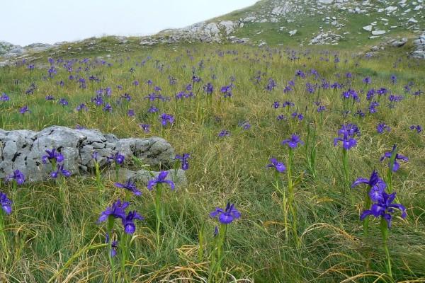 Campo de Iris (Iris latifolia) en los Pirineos