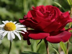 Postal: Una rosa y una margarita