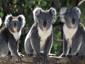 Postal: Tres koalas