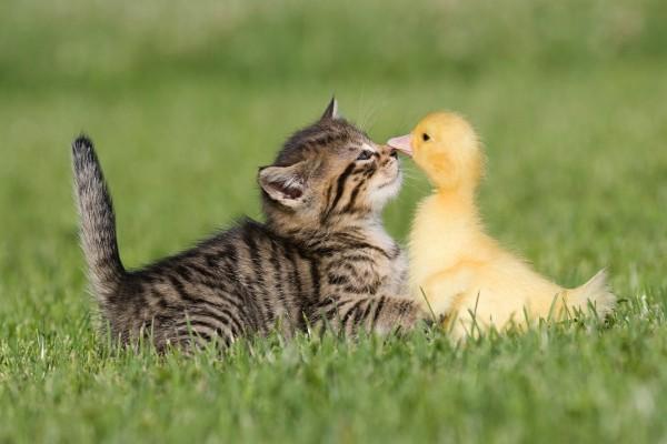 Amistad entre un gato y un pato