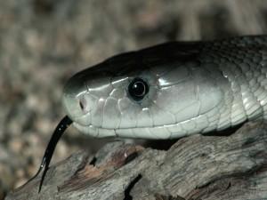 Serpiente de lengua negra