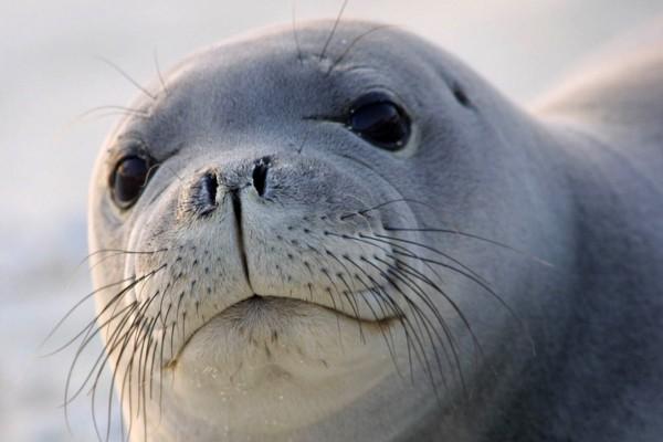 Cara de foca