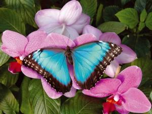 Postal: Mariposa azul en una flor