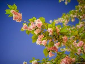 Postal: Rama de cerezo con flores