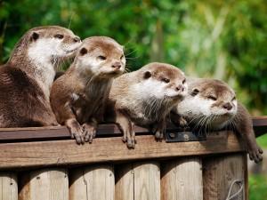 Una familia de nutrias