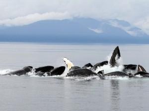 Ballenas jorobadas en Alaska