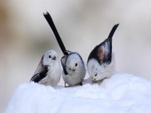 Tres pajaritos comiendo nieve