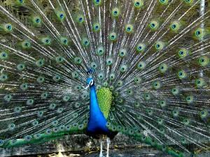 Postal: Despliegue de plumas de un pavo real