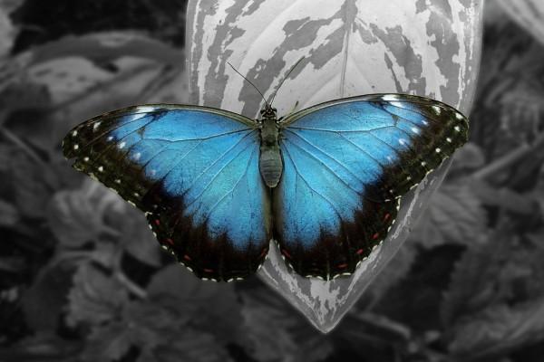 Mariposa azul sobre una hoja gris