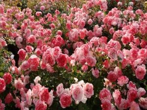 Un gran rosal