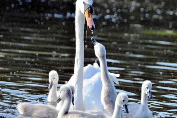 La mamá y sus polluelos