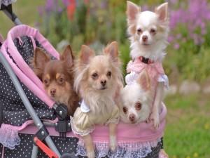 Chihuahuas en una silla de paseo
