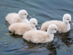 Polluelos de cisne nadando en el agua
