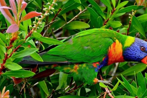 Lorito con plumaje de vivos colores