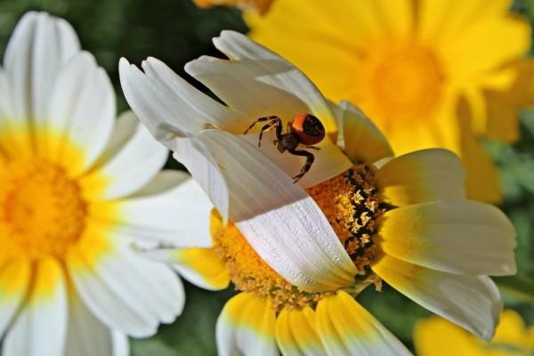 Araña sobre una margarita