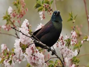 Postal: Mirlo en una rama con flores