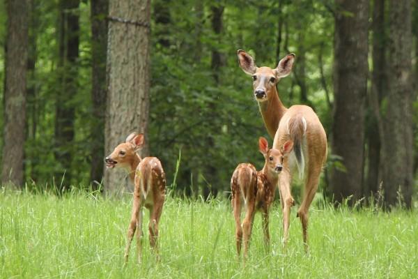 Ciervos en el bosque