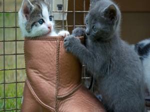 Gatitos jugando con una bota