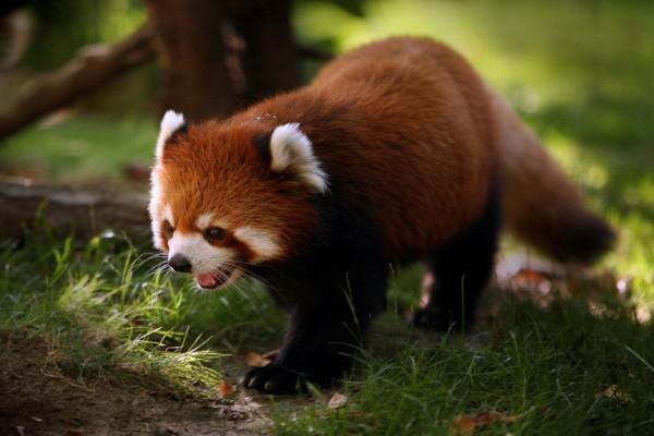 Pequeño panda rojo