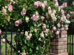 Postal: Rosas sobre una cerca