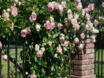 Rosas sobre una cerca