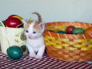 Un pequeño gatito de ojos azules