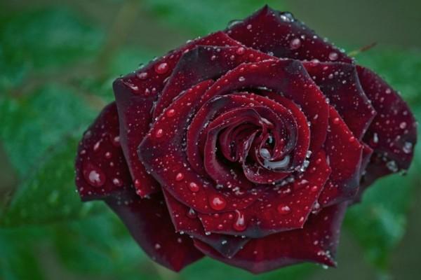 Una rosa con gotas de rocío