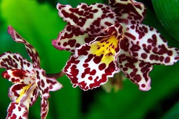 Orquídea blanca y púrpura