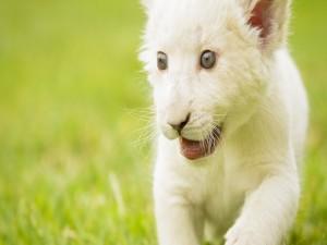 Postal: Cachorro de león blanco