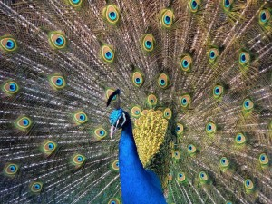 Postal: Pavo real mostrando su hermoso plumaje
