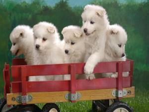 Postal: Perritos blancos en un pequeño remolque