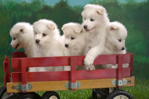 Perritos blancos en un pequeño remolque