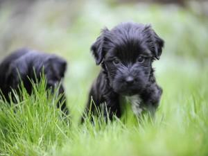 Perritos negros en la hierba