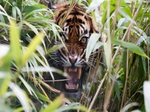 Tigre entre la hierba mostrando sus fauces