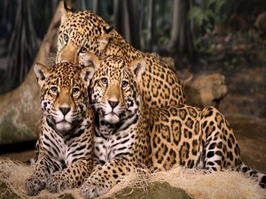 Postal: Trío de jaguares