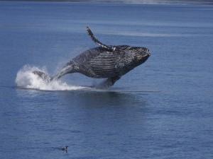 Ballena jorobada en el océano